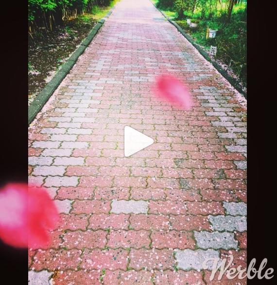 桜道 Cherry Blossom Road